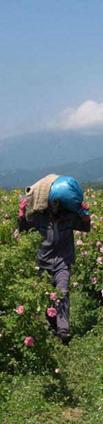 Recogida de la rosa bulgara